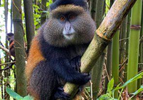 6 Day Gorillas, Golden Monkeys and Chimp Trekking in Uganda